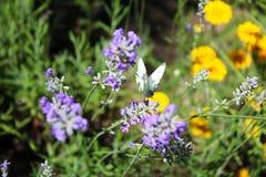 Бабочка капусты на цветках лаванды Стоковые Изображения RF