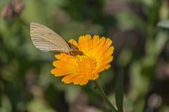 Бабочка капусты опыляет желтый цветок стоковые фото