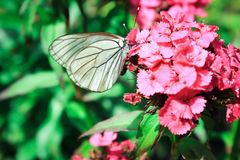 Бабочка капусты Стоковая Фотография