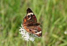 Бабочка конского каштана на белом Wildflower Стоковое Фото