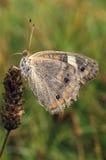 Бабочка конского каштана на засорителе Стоковое Изображение