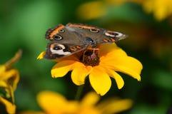 Бабочка конского каштана на солнцецвете Стоковые Фото