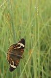Бабочка конского каштана на траве и росе Стоковое Фото
