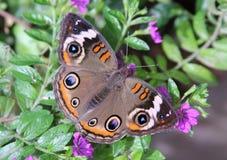бабочка конского каштана Стоковая Фотография RF