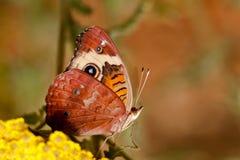 бабочка конского каштана Стоковые Изображения RF