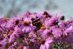 Бабочка кормит цветок Стоковая Фотография