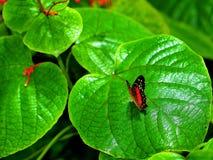 Бабочка Коллиы на больших зеленых лист Стоковое Изображение