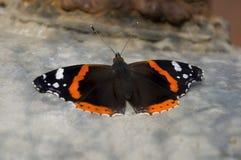 Бабочка крапивниц сидит на коробке утюга света Стоковая Фотография
