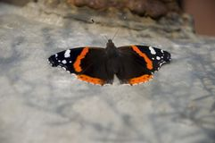 Бабочка крапивниц сидит на коробке утюга света Стоковое Изображение