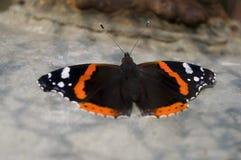 Бабочка крапивниц сидит на коробке утюга света Стоковые Фотографии RF