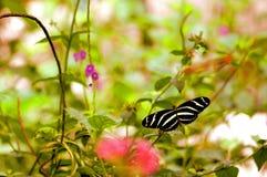 Бабочка красивой зебры longwing в aviary Стоковые Фотографии RF