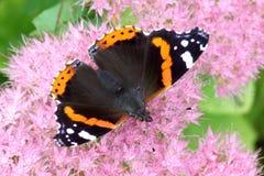 Бабочка красного адмирала на sedum Стоковое фото RF