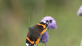Бабочка красного адмирала /Vanessa atalanta/собирает нектар на цветке /Succisa pratensis/дьявол-бита сток-видео