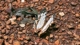 Бабочка крупного плана красивая держа дальше пол thr во времени дня после дождя сток-видео