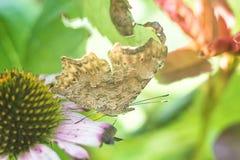 Бабочка крупного плана на восточном фиолетовом передразнивании на соре лист, прилетных бабочках летая coneflower насекомого котор Стоковые Изображения RF