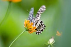 Бабочка крупного плана на цветках Стоковое Изображение RF