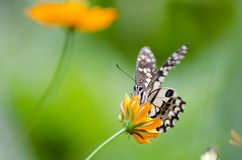 Бабочка крупного плана на цветках Стоковое фото RF