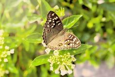 Бабочка крупного плана на цветке Стоковое Изображение