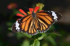 Бабочка крупного плана Стоковые Фото