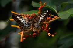 Бабочка клипера на каприфолии накидки Стоковое фото RF