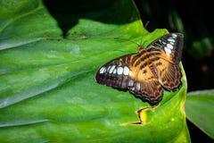 Бабочка клипера отдыхая на лист Стоковые Фото