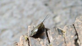 Бабочка клипера отдыхая на древесине сток-видео