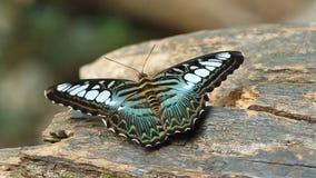 Бабочка клипера отдыхая на древесине видеоматериал