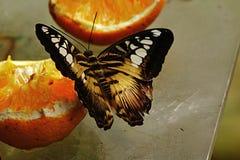 Бабочка клипера & x28; Parthenos Sylvia& x29; подавать на зрелой груше стоковое фото