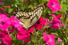бабочка летая гигантские thoras swallowtail heraclides к телезрителю нижней стороны Стоковые Изображения RF