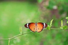 Бабочка Листья задвижки бабочки в саде Стоковое Изображение