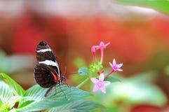 Бабочка макроса, Сара Longwing на лист Стоковая Фотография