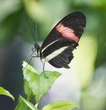 Бабочка макроса с тычинкой Стоковые Фото