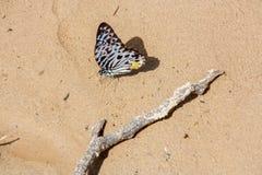 Бабочка, Малайзия стоковые фотографии rf