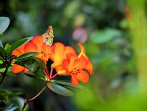 Бабочка малахита на оранжевых цветках Стоковые Фотографии RF
