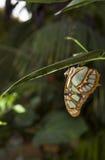 Бабочка малахита Стоковое фото RF