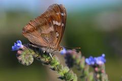 Бабочка - меньший фиолетовый император (подвздошные кости Apatura) стоковая фотография rf