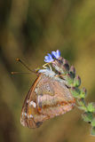 Бабочка - меньший фиолетовый император (подвздошные кости Apatura) стоковая фотография