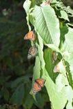 Бабочка монарха в диком стоковое изображение rf