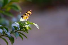 Бабочка монарха в лесе Стоковые Фото