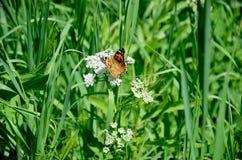Бабочка монарха в траве в лете Стоковое Изображение RF