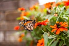 Бабочка монарха в цветочном горшке Стоковые Изображения