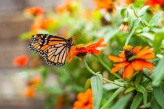 Бабочка монарха в цветочном горшке Стоковое Изображение RF