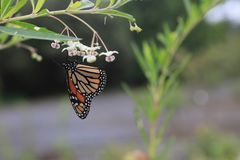 Бабочка монарха или просто монарх бабочка milkweed в нимфалиды семьи стоковые изображения rf