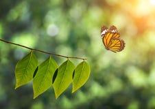 Бабочка монарха и зеленые лист на солнечном свете в природе Стоковое Изображение