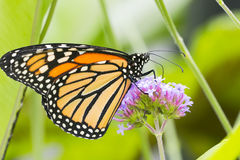 Бабочка монарха, конец вверх по съемке макроса стоковое фото rf