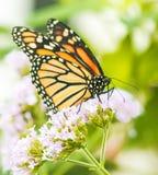 Бабочка монарха, конец вверх по съемке макроса стоковые фотографии rf