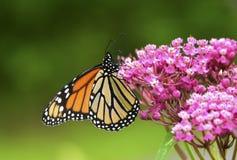 Бабочка монарха крупного плана на цветке стоковые изображения rf