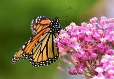 Бабочка монарха крупного плана на цветке стоковое фото rf