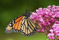 Бабочка монарха крупного плана на цветке Стоковые Фотографии RF