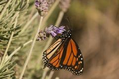 Бабочка монарха на лаванде Стоковая Фотография